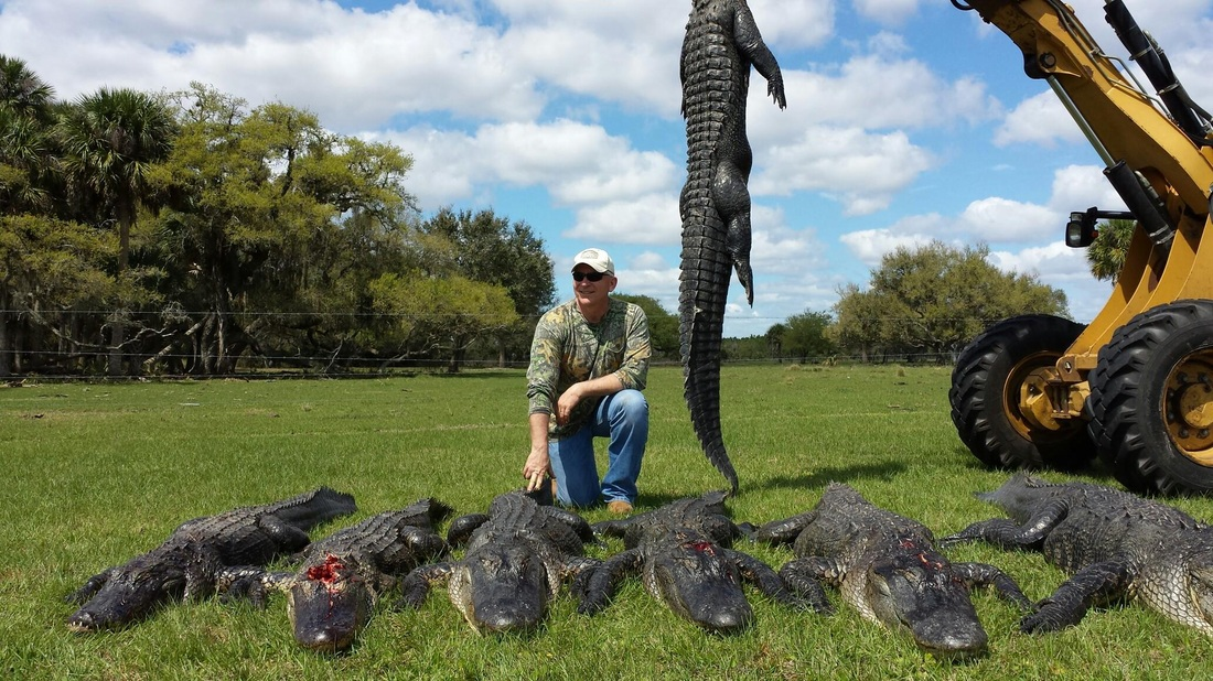 Client showing his guided wild florida alligator from his guided florida gator hunt.